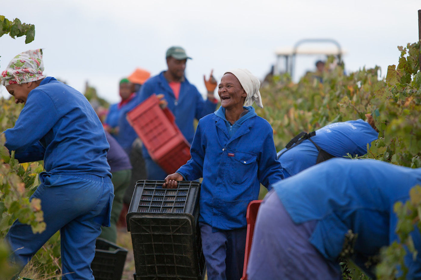 Simonsig Estate Harvest 080